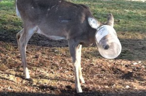 c AP photo by Janet Murphy deer with head stuck in jar