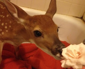 Baby deer eating rose