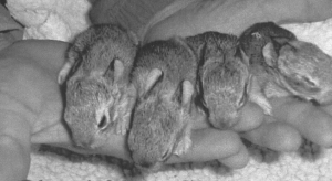 Baby rabbits develop quickly. At ten days, these rabbits are starting to open their eyes.